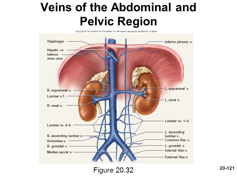 Veins of the Abdominal and Pelvic Region
