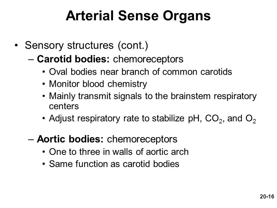 Arterial Sense Organs Sensory structures (cont.)