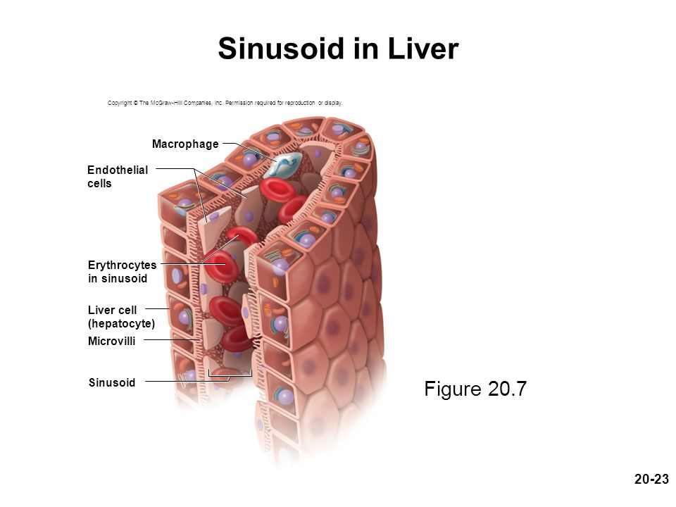 Sinusoid in Liver Figure 20.7 Macrophage Endothelial cells