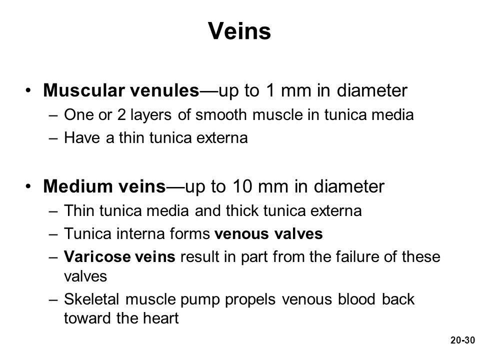 Veins Muscular venules—up to 1 mm in diameter