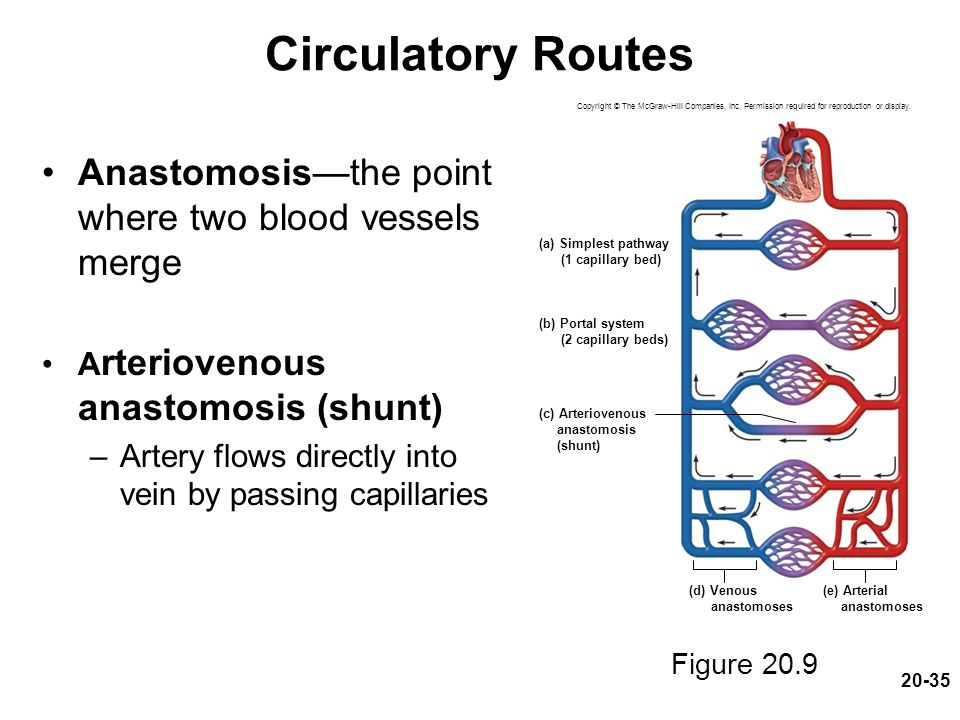 Circulatory Routes Anastomosis—the point where two blood vessels merge