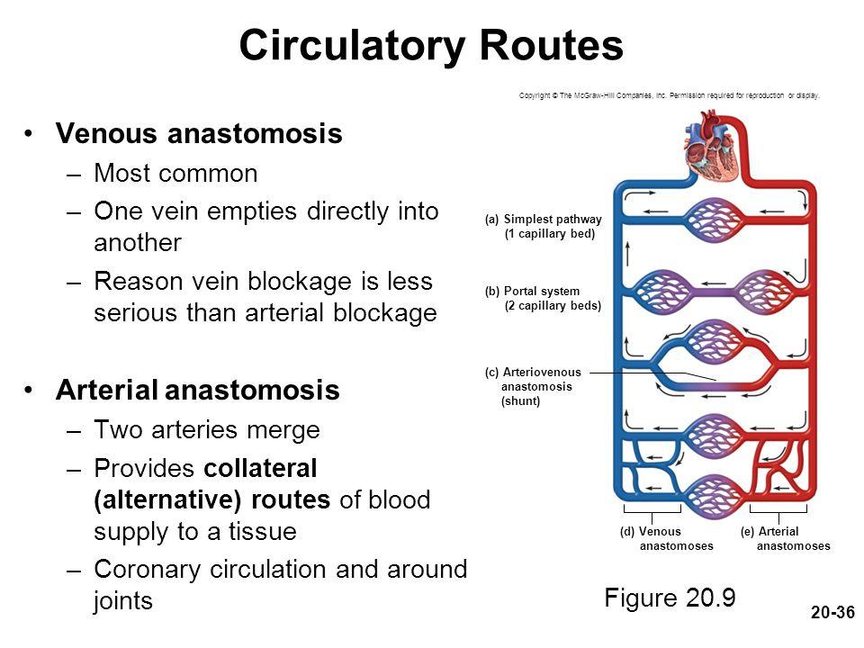 Circulatory Routes Venous anastomosis Arterial anastomosis Most common
