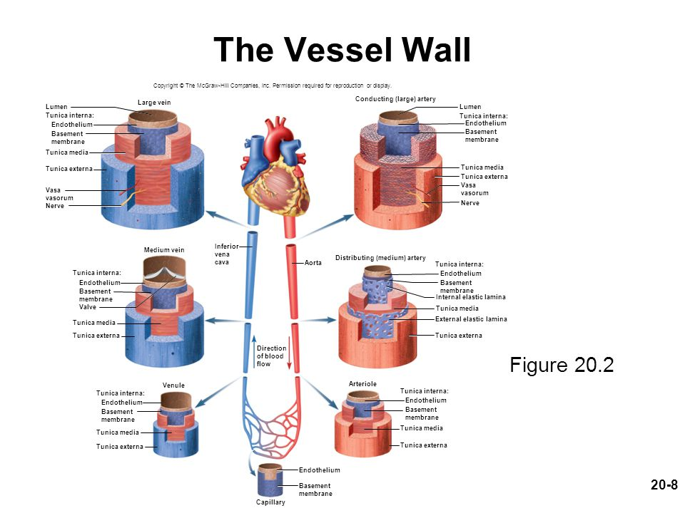 The Vessel Wall Figure 20.2 Conducting (large) artery Lumen Large vein