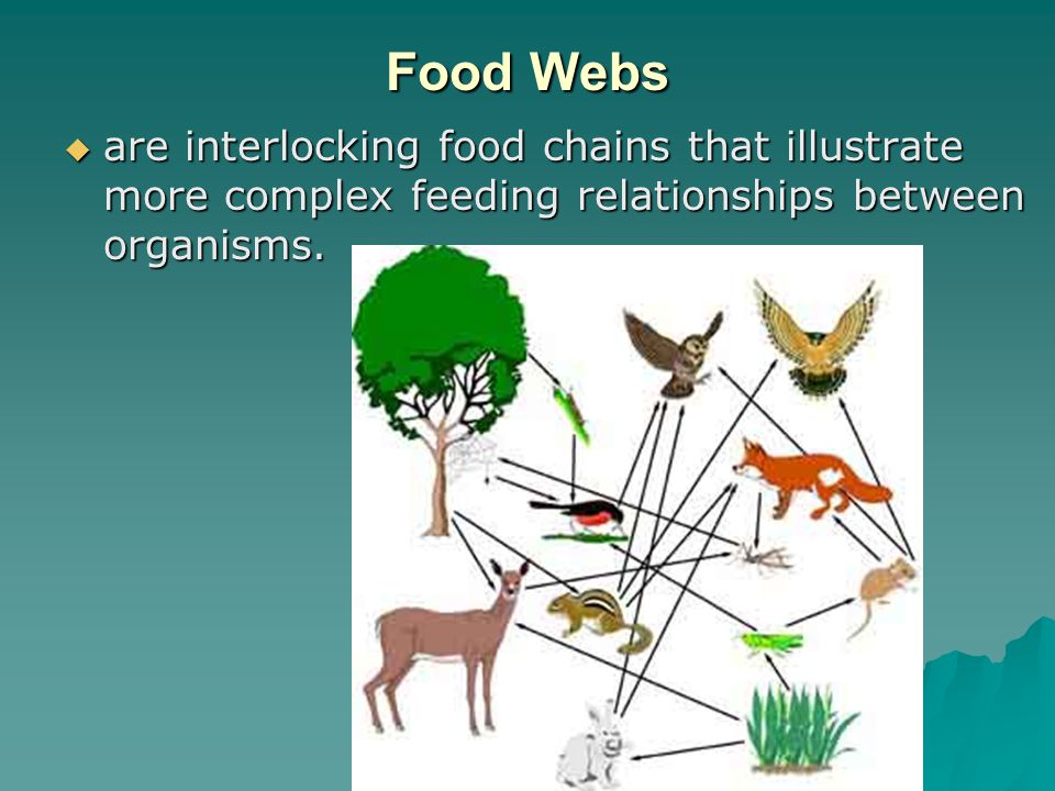 Food Webs are interlocking food chains that illustrate more complex feeding relationships between organisms.