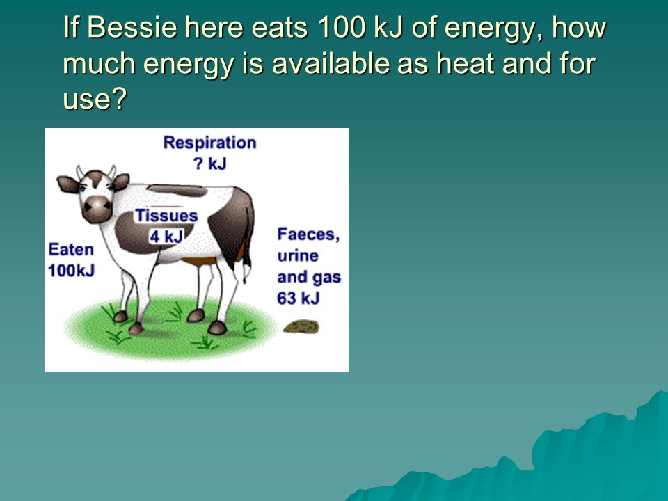 If Bessie here eats 100 kJ of energy, how much energy is available as heat and for use