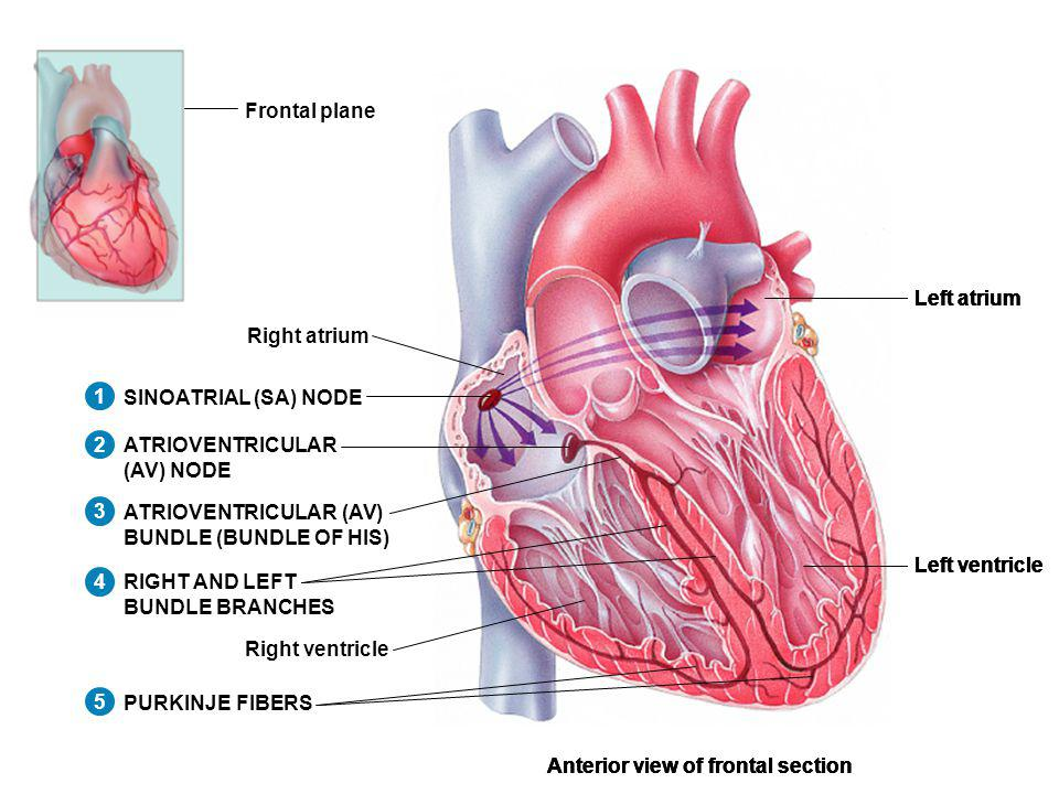Frontal plane Left atrium. Left ventricle. Anterior view of frontal section. SINOATRIAL (SA) NODE.