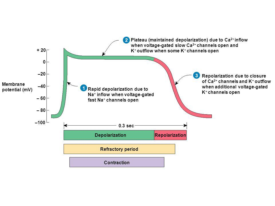 Depolarization Repolarization. Refractory period. Contraction. Membrane. potential (mV) Repolarization due to closure.