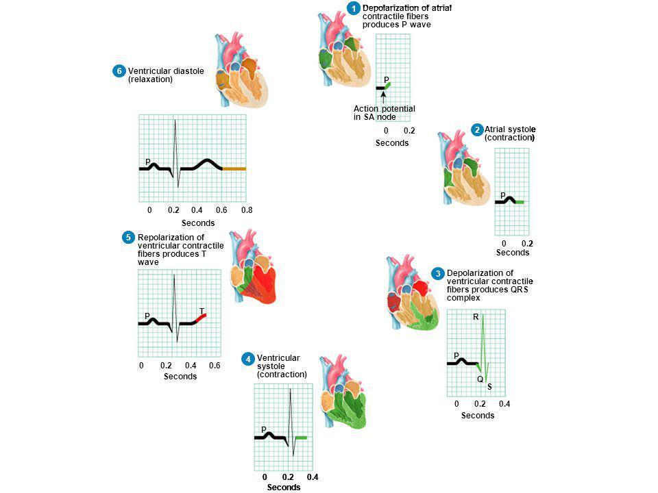1 6. Ventricular diastole. (relaxation) 5. Repolarization of. ventricular contractile. fibers produces T.