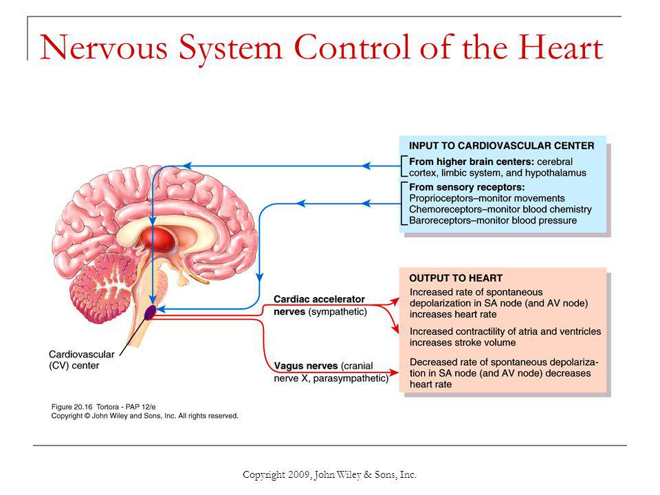 Nervous System Control of the Heart