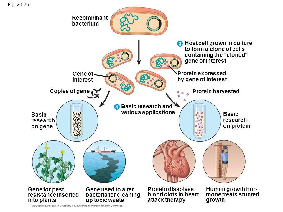 Production of protein from cloned genes