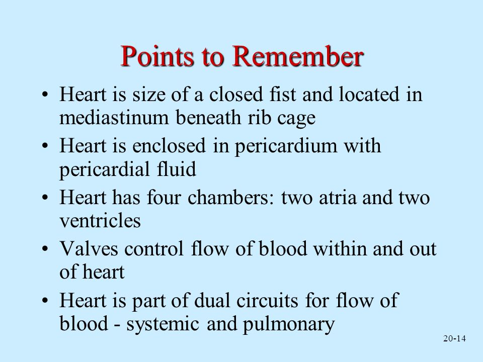 Points to Remember Heart is size of a closed fist and located in mediastinum beneath rib cage.