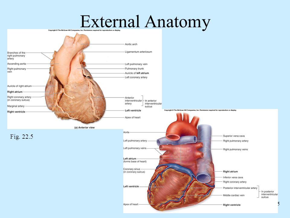 External Anatomy Fig. 22.5