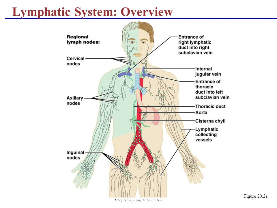 Chapter 20, Lymphatic System - ppt video online download