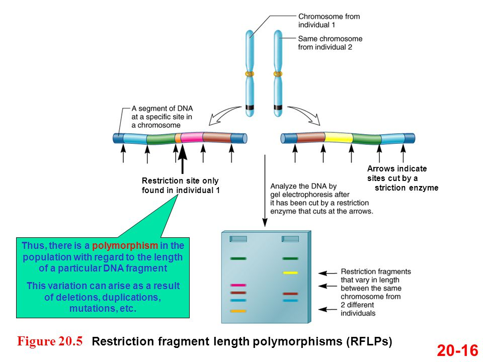 20-16 Figure 20.5 Restriction fragment length polymorphisms (RFLPs)
