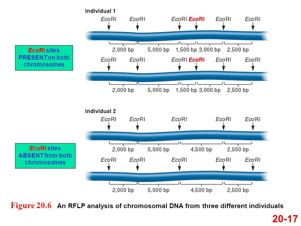 EcoRI sites PRESENT on both chromosomes