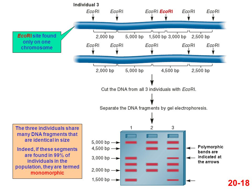 EcoRI site found only on one chromosome