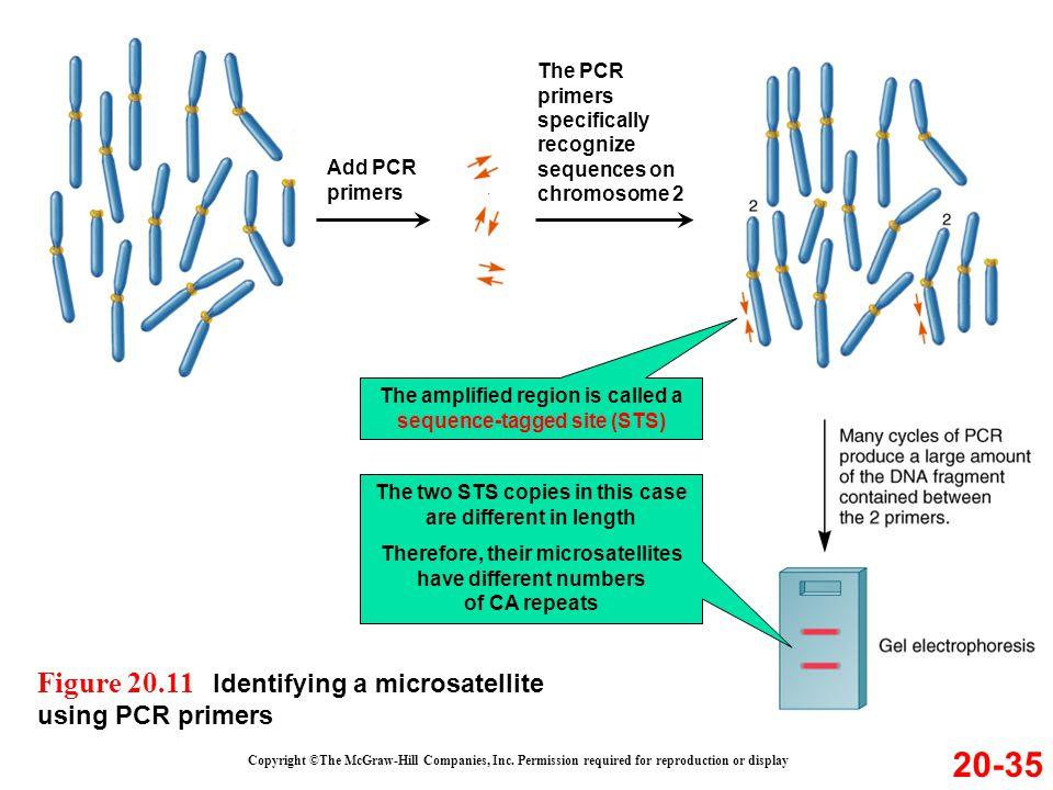 20-35 Figure 20.11 Identifying a microsatellite using PCR primers