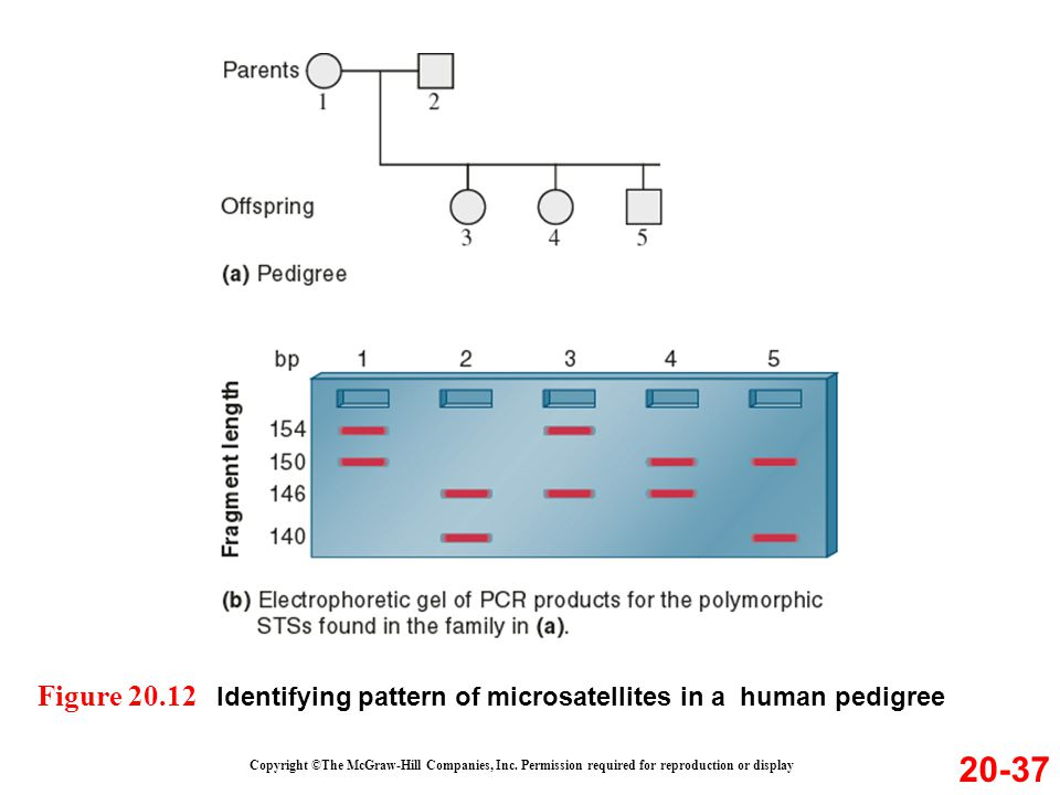 Figure 20.12 Identifying pattern of microsatellites in a human pedigree