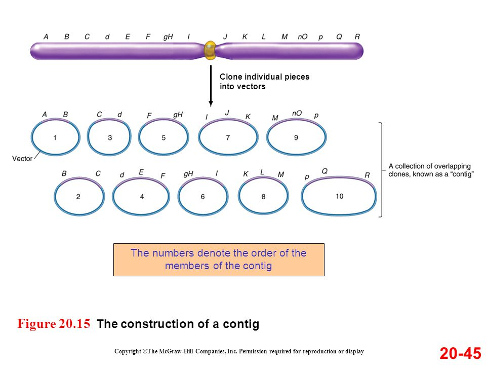 The numbers denote the order of the members of the contig