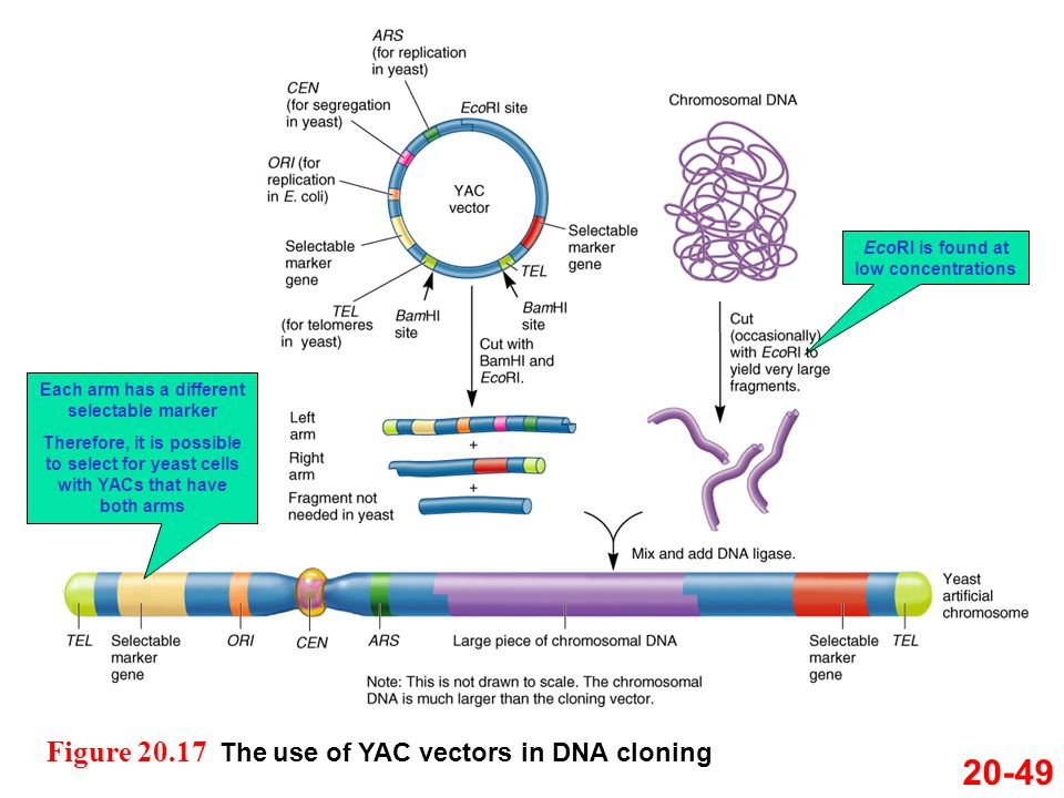 20-49 Figure 20.17 The use of YAC vectors in DNA cloning