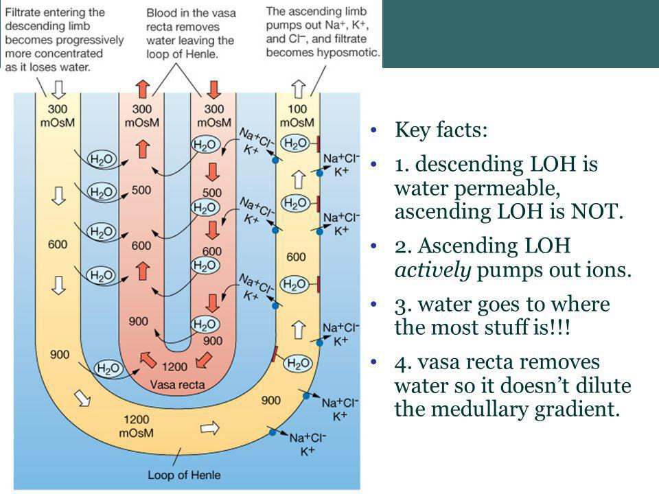 Key facts: 1. descending LOH is water permeable, ascending LOH is NOT. 2. Ascending LOH actively pumps out ions.