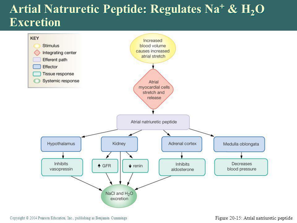 Artial Natruretic Peptide: Regulates Na+ & H2O Excretion