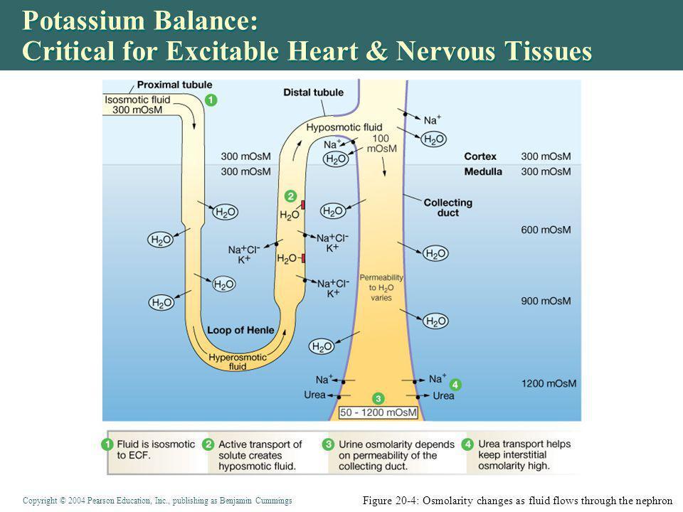 Potassium Balance: Critical for Excitable Heart & Nervous Tissues