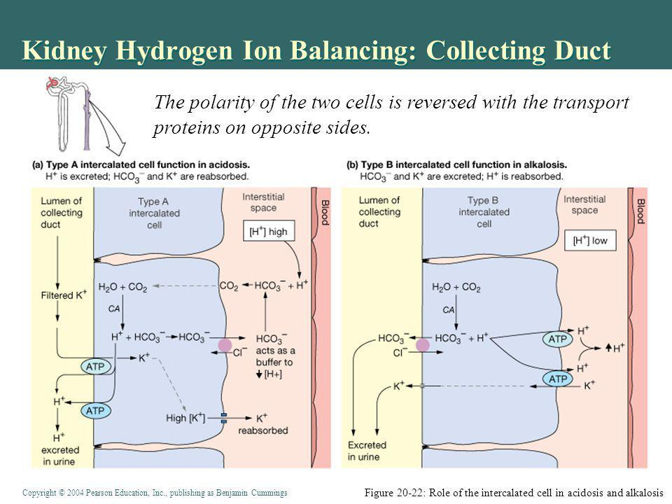 Kidney Hydrogen Ion Balancing: Collecting Duct