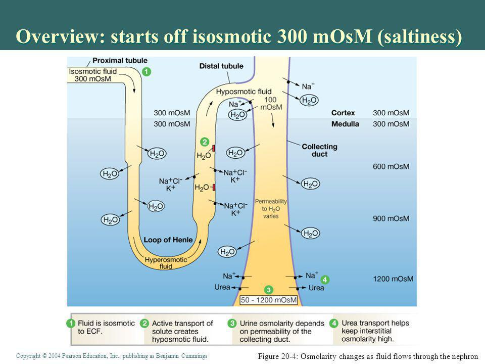 Overview: starts off isosmotic 300 mOsM (saltiness)