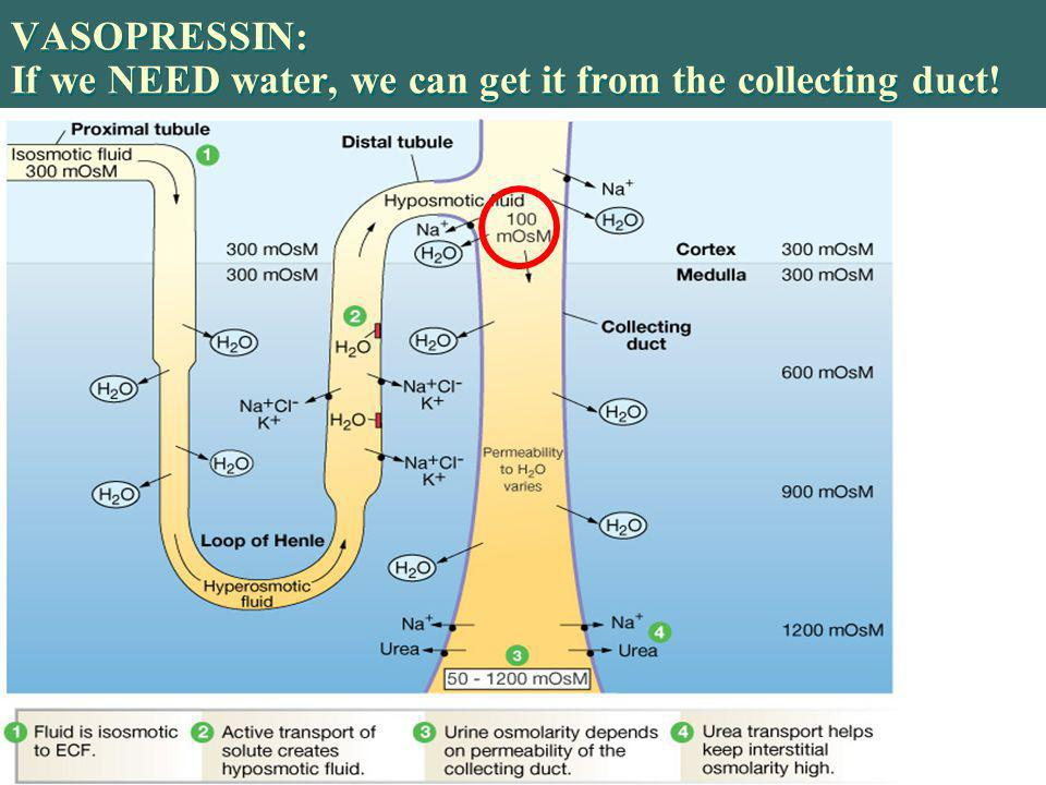 VASOPRESSIN: If we NEED water, we can get it from the collecting duct!