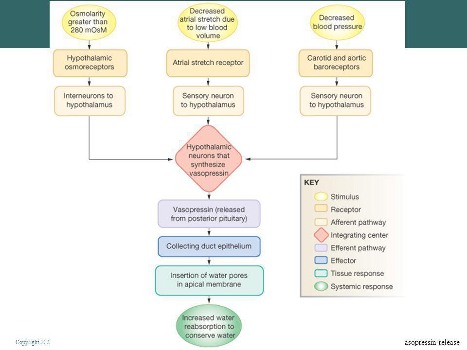 Figure 20-7: Factors affecting vasopressin release