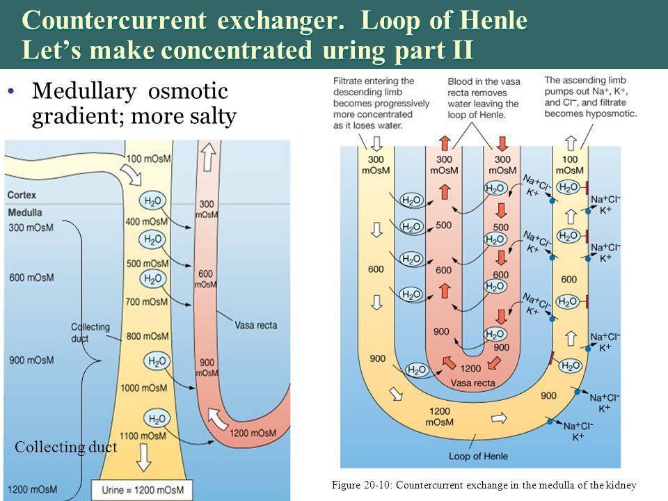 Figure 20-10: Countercurrent exchange in the medulla of the kidney