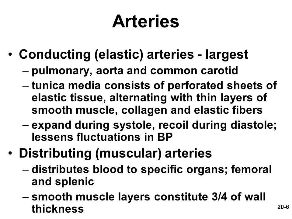 Arteries Conducting (elastic) arteries - largest
