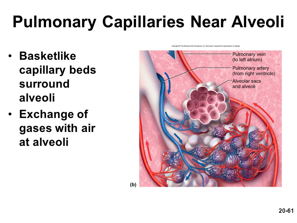 Pulmonary Capillaries Near Alveoli
