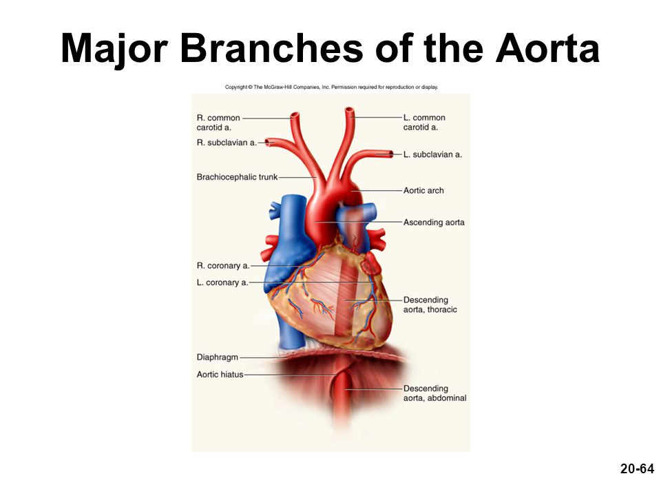 Major Branches of the Aorta