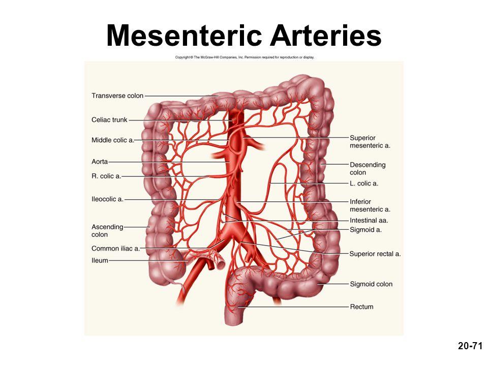 Mesenteric Arteries