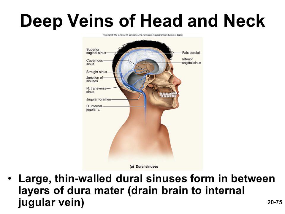 Deep Veins of Head and Neck