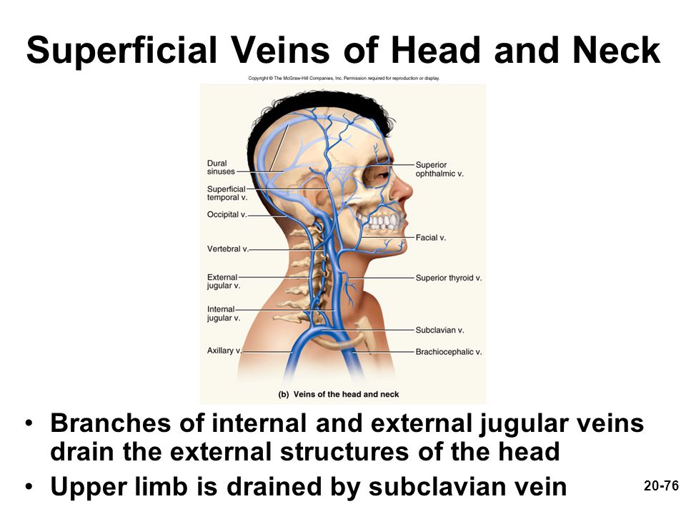 Superficial Veins of Head and Neck