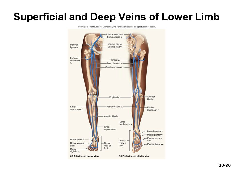 Superficial and Deep Veins of Lower Limb