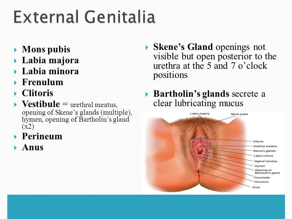 External Genitalia Skene's Gland openings not visible but open posterior to the urethra at the 5 and 7 o'clock positions.