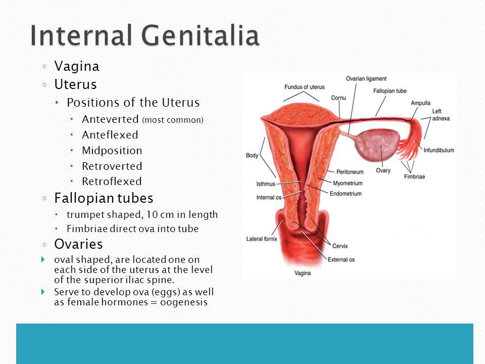 Internal Genitalia Vagina Uterus Fallopian tubes Ovaries