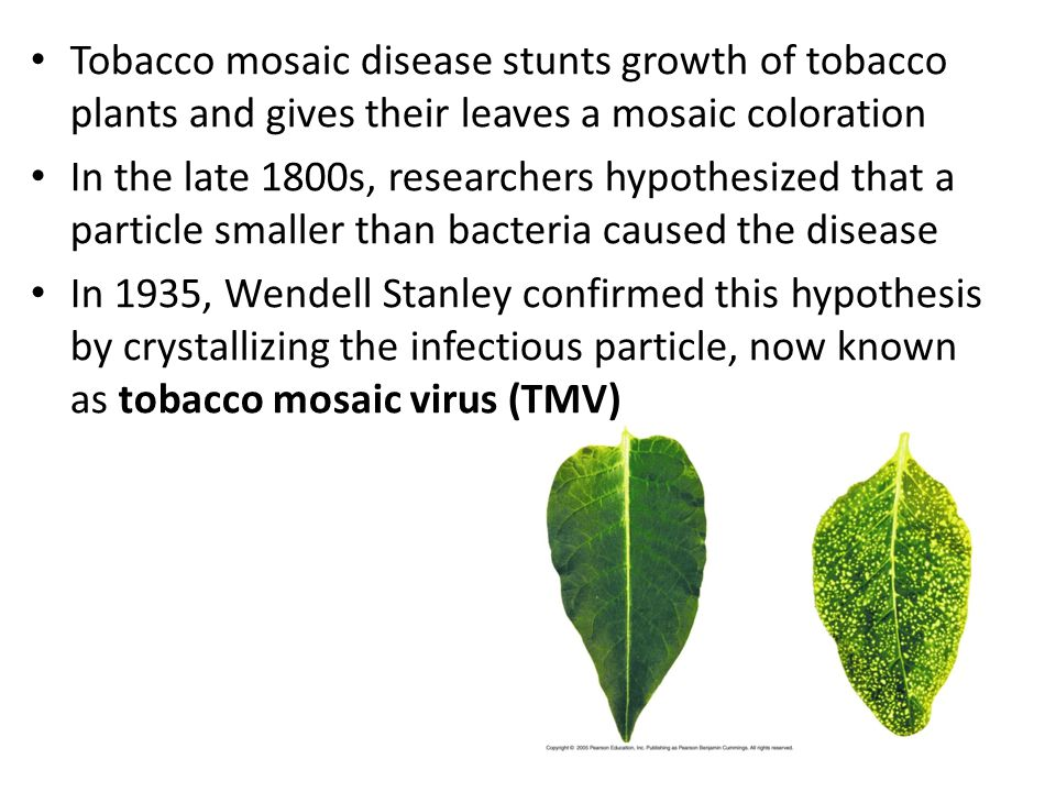 Tobacco mosaic disease stunts growth of tobacco plants and gives their leaves a mosaic coloration