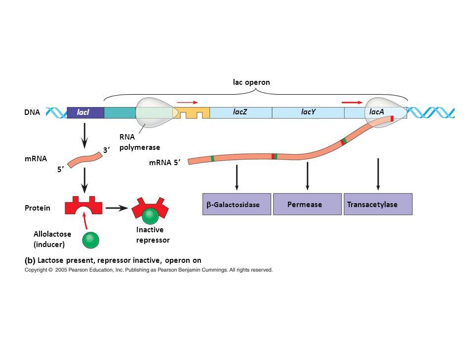 Lactose present, repressor inactive, operon on