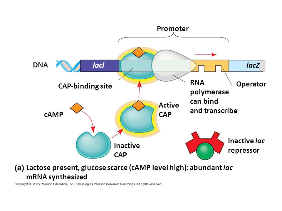 Promoter DNA. lacl. lacZ. RNA. polymerase. can bind. and transcribe. CAP-binding site. Operator.