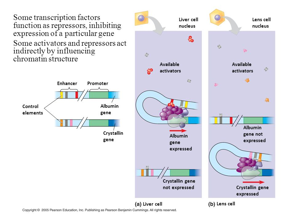 Some transcription factors function as repressors, inhibiting expression of a particular gene