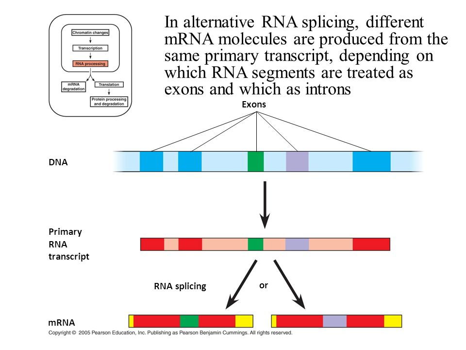In alternative RNA splicing, different mRNA molecules are produced from the same primary transcript, depending on which RNA segments are treated as exons and which as introns