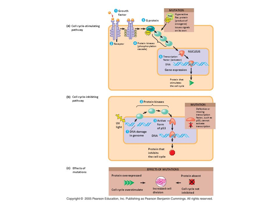 Cell cycle-stimulating pathway