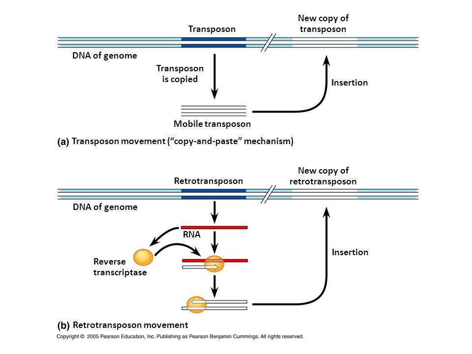 New copy of transposon. Transposon. DNA of genome. Transposon. is copied. Insertion. Mobile transposon.
