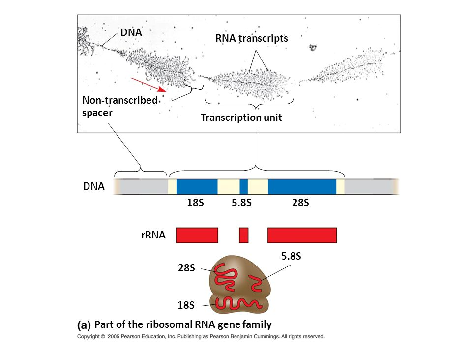 DNA RNA transcripts. Non-transcribed. spacer. Transcription unit. DNA. 18S. 5.8S. 28S. rRNA.