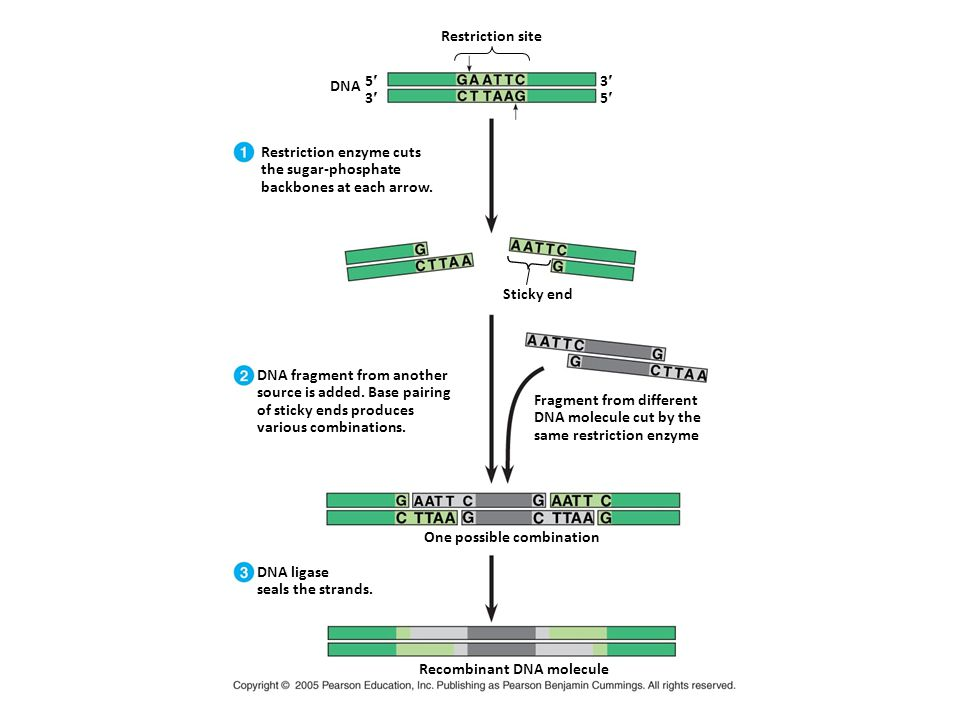One possible combination Recombinant DNA molecule